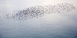 Starlings are known to fly in flocks of thousands.