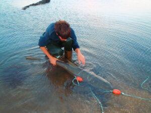 Dapp untangles a sicklefin lemon shark from a fishing net. Photo by Selina Kent.