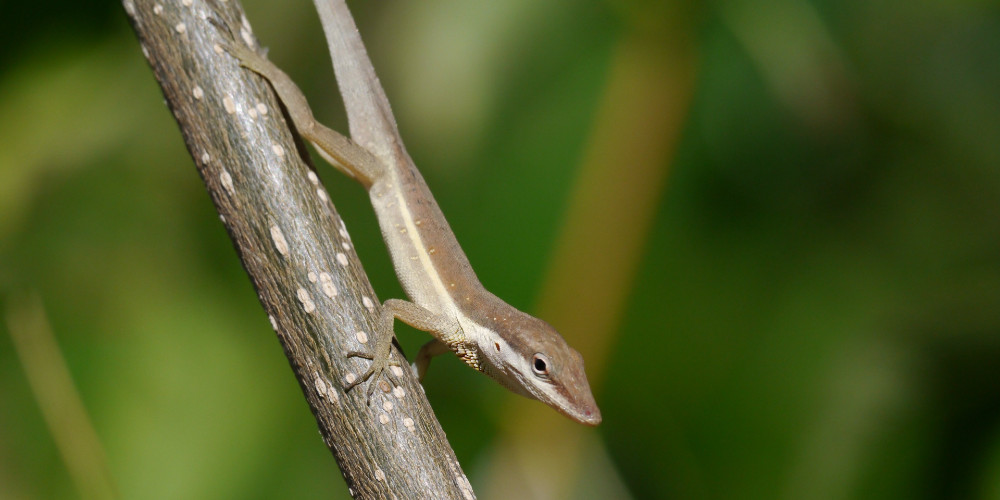 Lizard evolved to take on the appearance of a twig